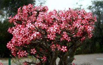 Adenium multiflorum (Impala Lily)