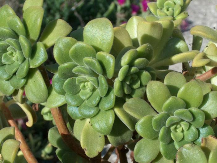 Aeonium lindleyi