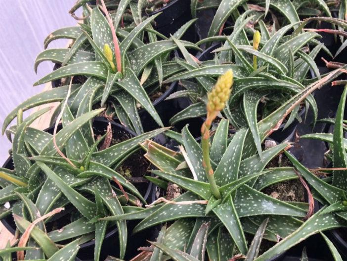 Aloe 'Firebird' (Firebird Aloe)