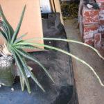 Aloe compressa var. paucituberculata