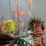 Aloe pseudoparvula
