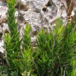 Aloiampelos juddii (Koudeberg Aloe)