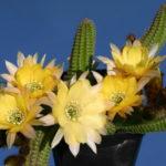 Chamaelobivia 'Yellow Bird' (PeanutCactus)