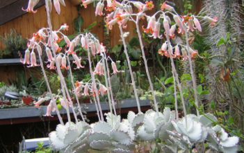 Cotyledon orbiculata var. oblonga 'Undulata' (Silver Ruffles)