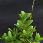 Crassula cultrata (Bush Plakkie)