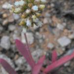Crassula subacaulis subsp. erosula