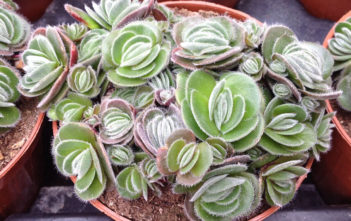Crassula tomentosa (Woolly Crassula)