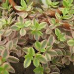 Crassula volkensii f. variegata