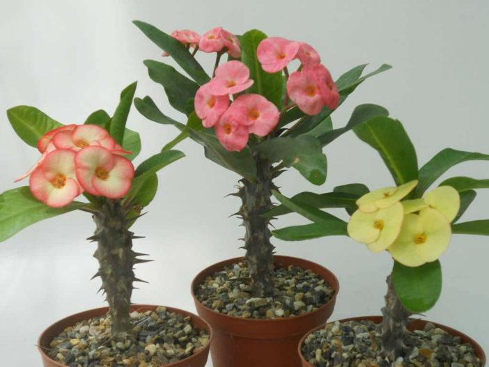 Crown of Thorns Bloom