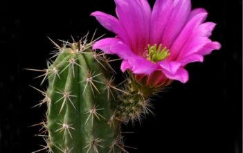 Echinocereus enneacanthus subsp. brevispinus (Strawberry Cactus)