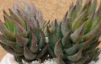 Haworthia coarctata f. greenii