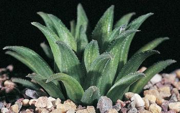 Haworthia floribunda var. dentata