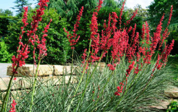 Hesperaloe parviflora 'Brakelights' (Brakelights Red Yucca)