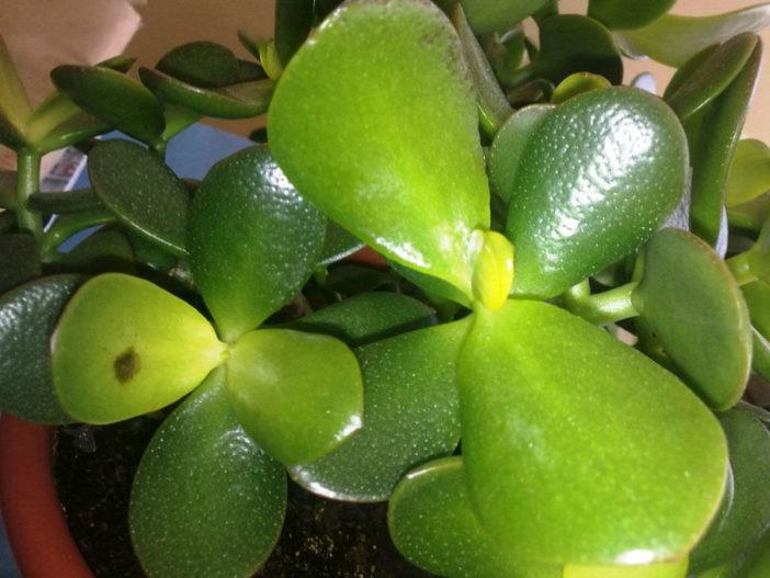 Jade Plant Black Spots