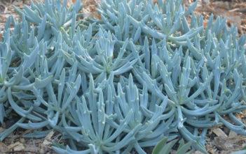 Kleinia 'Trident Blue' (Kleinia 'Trident Blue')