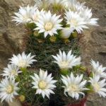 Mammillaria zeilmanniana 'Albiflora'