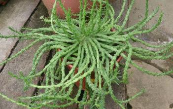 Medusa's Head (Euphorbia flanaganii)