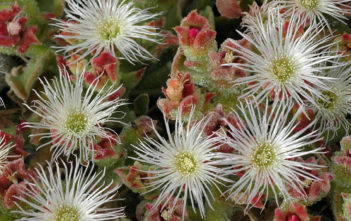Mesembryanthemum crystallinum (Common Ice Plant)