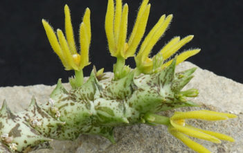 Orbea wissmannii subsp. parviloba