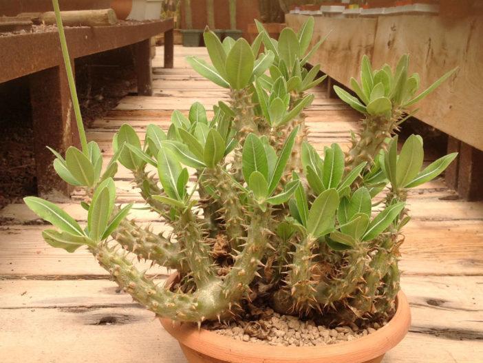 Pachypodium horombense (Horombe Clubfoot)