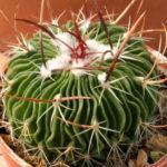 Stenocactus multicostatus (Brain Cactus)