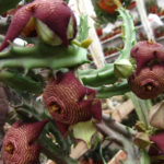 Tromotriche revoluta var. tigrida (Revolute-flowered Tromotriche)