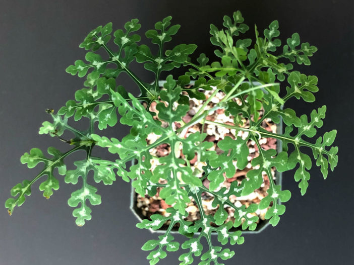 Adenia perrieri (Bottle Tree)