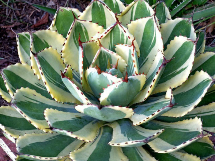 Agave 'Desert Diamond' (Variegated Butterfly Agave)