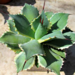 Agave potatorum 'Eye Scream' (Variegated Butterfly Agave)