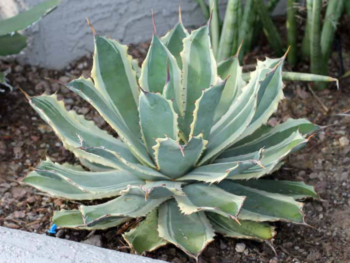 Agave potatorum 'Snowfall' (Variegated Butterfly Agave)