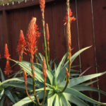 Aloe arborescens 'Spineless' (Toothless Torch Aloe)