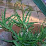 Aloe bakeri (Baker Aloe)