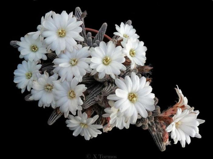Chamaelobivia 'Westfield Alba' (PeanutCactus)