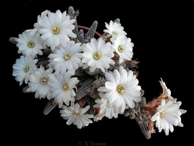 Echinopsis 'Westfield Alba' (PeanutCactus), aka Echinopsis chamaecereus 'Westfield Alba' or x Chamaelobivia 'Westfield Alba'