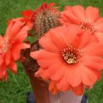 Chamaelobivia 'Wotan' (Peanut Cactus)