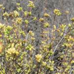 Crassula subaphylla var. virgata