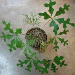 Cussonia paniculata (Mountain Cabbage Tree)
