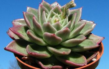 Echeveria 'Gilva' (Wax Rosette)