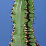 Euphorbia ammak (African Candelabra)