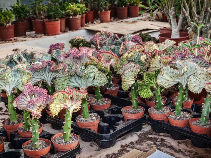 Euphorbia lactea'Cristata' f. variegata