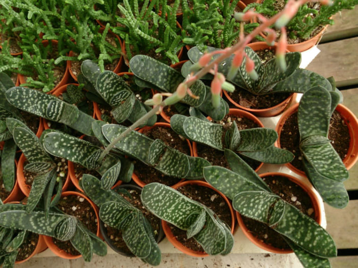 Gasteria pillansii (Namaqua Gasteria)