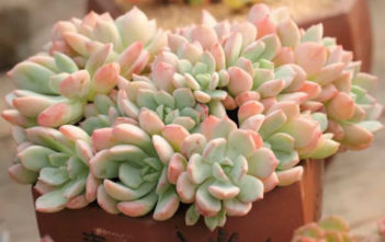 Graptoveria 'A Grim One'