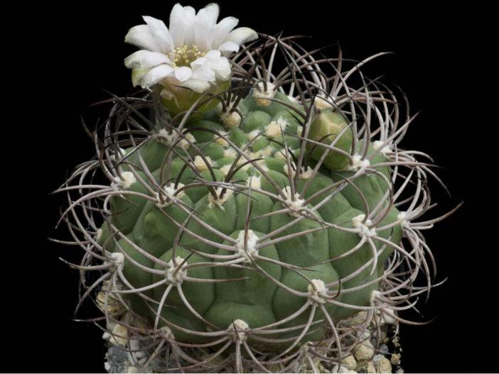 Gymnocalycium saglionis (Giant Chin Cactus)