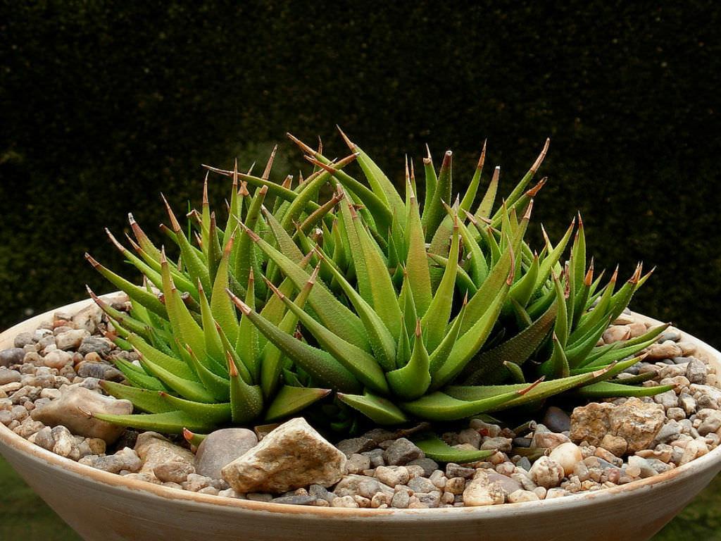 Haworthiopsis attenuata var. glabrata