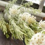 Hoya linearis (Wax Plant)