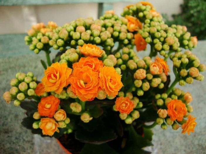 Kalanchoe blossfeldiana 'Calandiva'