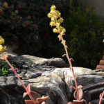 Lenophyllum latum