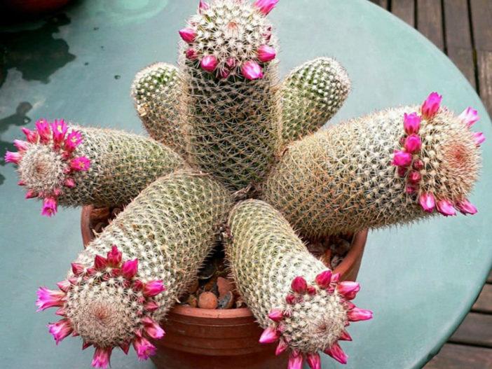 Mammillaria matudae (Thumb Cactus)
