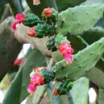 Nopalea cochenillifera (Cochineal Nopal Cactus)