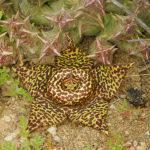 Orbea namaquensis (Namaqua Orbea)
